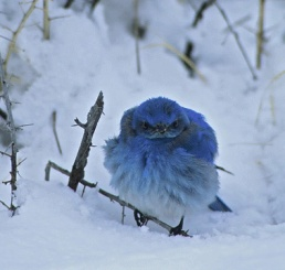 AngryBlueBirdCrpd