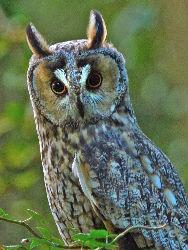 Long Eared Owl http://www.wildlifeextra.com/